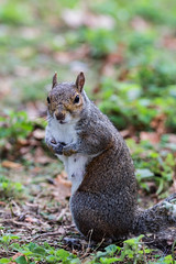 Angleterre Septembre 2016-7701 (laurent-loïcfuentes) Tags: squirel écureuil animals angleterreseptembre2016 animaux