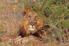 Piercing Eyes of the King (dominant Male of a coalition of 3) (cirdantravels) Tags: feline bigcat lion lwe leeuw predator madikwe ngc coth5