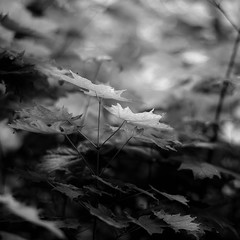 Across Forest Floors 008 (noahbw) Tags: d5000 dof nikon ryersonwoodsforestpreserve abstract blackwhite blackandwhite blur bokeh bw forest landscape leaves light monochrome natural noahbw shadow spring square woods