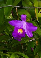 Sobralia (Mirabilis 'Summer White' x leucoxantha 'T') hybrid orchid 9-16 (nolehace) Tags: sobralia mirabilis white leucoxantha t hybrid orchid 916 summer nolehace sanfrancisco fz1000 flower plant bloom