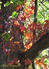 IMG_0493 (Sally Knox Sakshaug) Tags: autumn fall nature outdoors sunny bright shadow tree trees green bark brown red leaf leaves orange backlit sky upward skyward vine entangled trunk