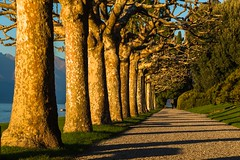 walkway next to lake (lucafabbricesena) Tags: row trees lake como villa melzi treelined avenue plants autumn october light boat scenic scenery water depthoffield italy lombardia d800 nikon garden twilight sunset sunlight saariysqualitypictures