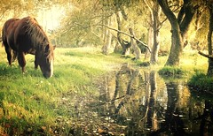 Paradise for happy horses (2) (Marie Jestin ) Tags: drafthorse horse reflection bretagne chevalbreton trees grazing water landscape grass meadow