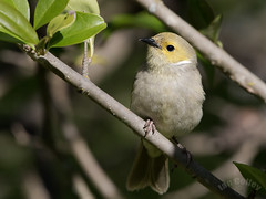 White-plumed Honeyeater (Lichenostomus penicillatus) (Ian Colley Photography) Tags: whiteplumedhoneyeater lichenostomuspenicillatus inverell canoneos7dmarkii bird 500mm newsouthwales