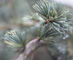 the rainy day blues (Noel Leone--my reality in and out of focus) Tags: rain pineneedles waterdrops dof butitfeelslikewinter oknotwinteryet winter