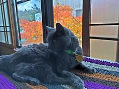 Argent's Early Afternoon Spot (sjrankin) Tags: 27october2016 edited animal cat yubari hokkaido japan argent hdr maple mapletree fallcolor autumn