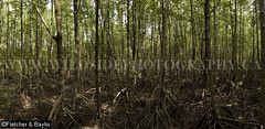 39990 Mangrove trees (Rhizophora apiculata) with prop roots at the Mangrove Forest Research Centre, Ranong Biosphere Reserve, Ranong, Thailand. (K Fletcher & D Baylis) Tags: panorama plant vegetation flora tree mangrove mangrovetree mangroveforest swamp mangroveswamp rhizophora roots proproots stiltroots intertidal mangroveforestresearchcentre biospherereserve ranongbiospherereserve ranong thailand southeastasia november2016