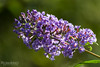 Buddleia (Rom4rio Photography) Tags: nikon nikkor nikond3100 natura nature flower fiore floare fioritura allaperto outdoor color amateur amatore amator