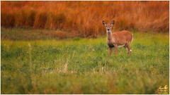 Autumn White-tail in the Field (Moe Ali Photography) Tags: whitetail fawn deer field autumn fall colors colours canon7dmarkii canon100400ii telephoto 400mm iso1000 moealiphotography wildlife outdoor calgary alberta canada overcast soft cute