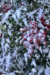 Red Berries in the Snow (jchants) Tags: seattlesnow snow snowcovered snowday red berries nandina heavenlybamboo