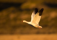 Snow-Goose (Corey Hayes) Tags: snow goose evening pond sunrise beauty