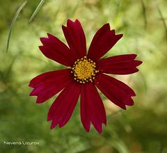 Nevena Uzurov - Velvet petals (Nevena Uzurov) Tags: cosmos flower red petals plant nature mygarden delicate nevenauzurov serbia cvet bokeh light