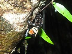 apidae_julio-16_08 (Reinaldo Aguilar) Tags: apidae abejas