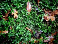Moss or Liverwort? (JulieK (thanks for 6 million views)) Tags: green johnstowncastle fauna nature ireland irish wexford iphone5 autumn texture