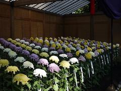 Oo-giku (s.itto) Tags: shinjukugyoen autumn chrysanthemum november morifolium