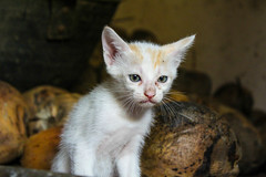 Cat among the coconuts :P (Akhil Sanjeev) Tags: cat kitten animal grumpy
