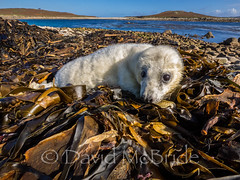 White Coat on raft of Sea Weed (davidmcbridephotography) Tags: new born baby pup atlantic grey seal seaweed outdoors wild samson isles scilly cornwall united kingdom amazing colourful dynamic cute environmant fragile scillies cornish landscape sky blue family sea weed