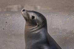 Seal (Zouhair Lhaloui) Tags: zoo wildlife brookfieldzoo animals portrait faces animeaux beauty beautiful nature tamron150600mm nikond810 zouhairlhaloui zlphotography 2016 seal aquaticlife aquaticanimal mammals