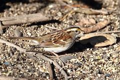 White-throated sparrow (jlcummins - Washington State) Tags: yakimaareaarboretum wildlife nature yakimacounty washingtonstate bird whitethroatedsparrow