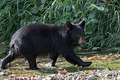 On my way to get some salmon (Maja's Photography) Tags: forest fishing fish fur furry fantasticnature bc blackbear bear bears wildlife wilderness wild naturephotography canon closeup critters conservation cubs farms water w