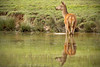 Red Deer Reflecting (Benjaminio) Tags: red deer hind willife reflection water ripples reflecting nature animal studley park ripon yorkshire