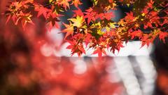 Autumn Leaves (Ted Tsang) Tags: olympus em1 40150mmf28 bokeh macroshot plants leaves redleaves maple momiji koyo taiwan taichung fushoushanfarm lishan red 台中 福壽山農場 紅葉 楓葉 梨山 松盧