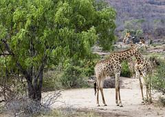 Giraffe and Weeping Wattle (Sheldrickfalls) Tags: giraffe kameelperd africanweepingwattle weepingwattle wattle peltophorumafricanum s44 krugernationalpark kruger krugerpark southafrica