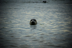 watching you (pamelaadam) Tags: newburgh forviesands aberdeenshire scotland june summer 2016 visions meetup fotolog digital thebiggestgroup animal seal sea
