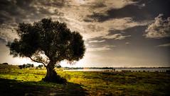 La dehesa de abajo - La Puebla del Rio - Sevilla (mgarciac1965) Tags: arbol naturaleza dehesa lapuebladelrio lago luz sevilla seville andaluca andalucia andalusia espaa spain nikond5200 sky nubes contraluz