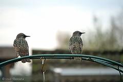 We Don't Talk Anymore.... ( Annieta ) Tags: annieta november 2016 sony a6000 nederland netherlands tuin garden jardin vogel bird oiseau spreeuw starling allrightsreserved usingthispicturewithoutpermissionisillegal coth