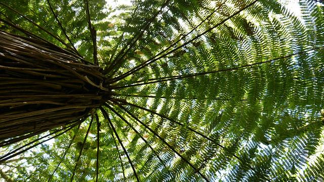 Silver Tree Fern.JPG
