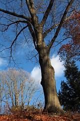 Quercus rubra (Red oak) 5859*B (smrozak) Tags: suzannemrozak 27nov2016 oakroute quercusrubra redoak 5859b