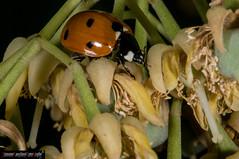 Coccinella septempuncata (frillicca) Tags: 2007 agosto august bug c7 coccinella coccinellaseptempunctatal coccinellidae coleottero insect insetto macrofotografia montefiasconevt sevenspotladybird sevenspottedladybug insetti