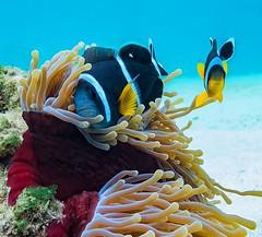 Clownfish in Mauritius (Robert Bilinski) Tags: robbil robertbilinski indianocean underwaterphotography underwater g16 canon divinginmauritius diver diving scubadiving scuba mauritius clownfish