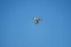 Falcon (omuendelein) Tags: falke falcon