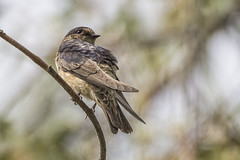 Tree Martin 2016-11-20 (60D_5255) (ajhaysom) Tags: treemartin petrochelidonnigricans woodlandshistoricpark greenvale melbourne australia australianbirds canoneos60d sigma150600