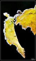 Ijsafzetting (hejos54) Tags: bos woud bladeren herfst bevroren canoneos5markiii ef100mmf28lmacroisusm ijs