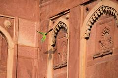Rajasthan (pictopix) Tags: inde rajasthan perruche verte bec rouge ombre shadow mur vol
