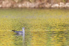 Sur une eau dore - On a golden water (bboozoo) Tags: bird oiseau nature wildlife animal canon6d tamron150600 mouette seagull golden dore eau water lac lake
