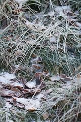 20161112 Fotosöndag tema analog, frost ute (Sina Farhat - Webcoast) Tags: canon50d canon50mm14usm göteborg gothenborg sweden sverige 031 frost vinter winter cold kallt leaves löv grass gräs