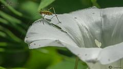 ortopterito (I. Alberdi Ezpeleta) Tags: insecto intsektu insecte insect insekt insetto macro makro closeup macrofotografia macrophotography macrophotographie