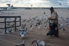 Feeding (dtanist) Tags: nyc newyork new york city newyorkcity sonya7 contax zeiss carlzeiss carl planar 45mm brooklyn coney island beach sand sea gulls seagulls birds feeding feed