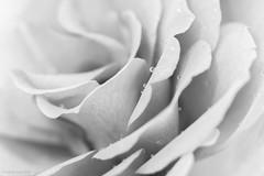pink rose (rich lewis) Tags: macro macrophotography nature rose flower waterdrop water mono monochrome blackandwhite richlewis