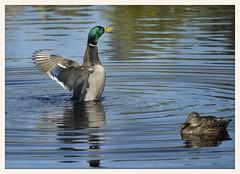 Mallard (gauchocat) Tags: sweetwaterwetlands tucsonarizona