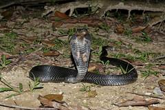 IMG_1188-1(W) Malayan Spitting Cobra (Naja sumatrana) (Vince_Adam Photography) Tags: reptilia reptiles snake snakes elapid elapidae naja oviparous neurotoxin venomous deadly fatal necrosis ularsenduk ularsenduksembur ularbelalang nguhaotongponpit ular ularberbisa bisa maut herps herping hepertology herpetologist herp nightherping nightmacro macro malaysianforest housingestates venomoussnakesofmalaysia snakesofmalaysia snakesofsoutheastasia snakesofasia najasumatrana peninsularmalaysia wildlifeofmalaysia reptilesofmalaysia blackspittingcobra malayanspittingcobra goldenspittingcobra sumatranspittingcobra equatorialspittingcobra tropicalsnake rainforest tropicalforest