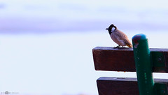 White-eared Bulbul (gino_rapheal) Tags: bird bulbul beautiful nature birdphotography natural seaside kuwait bench beauty morning winter eye feathers whiteearedbulbul sky shallow clarity