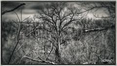 Elder (dougkuony) Tags: fortatkinson elm trees woods floodplain lowlands sticks mono monochrome bw blackandwhite hdr