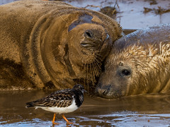 Grey Seals - Bird Watching (Paul West ( pwest.me )) Tags: donnanook nature coastal lincolnshire grey seal greyseals
