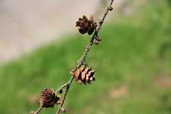 Larix laricina-13 (The Tree Library (TreeLib.ca)) Tags: tamarack larixlaricina