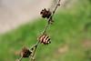 Larix laricina-13 (Tree Library) Tags: tamarack larixlaricina